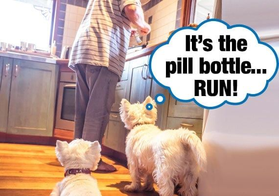 two-maltese-terrier-dogs-watching-owner-open-up-pill-bottle-in-kitchen.jpg