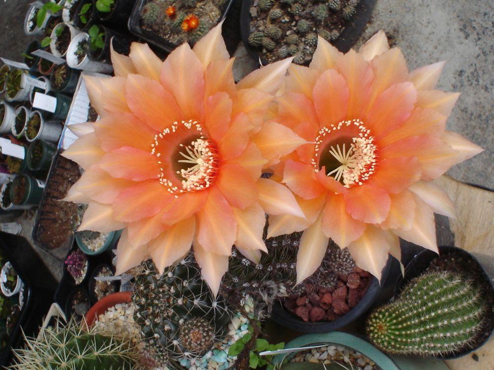 flowering-cactus.jpg